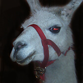 Llama at a party in Pittsburgh, courtesty of Petting Zoo